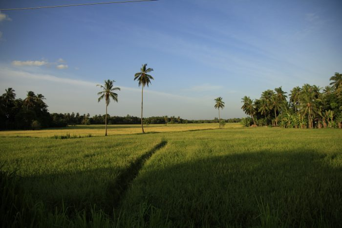 riževa polja, Šrilanka
